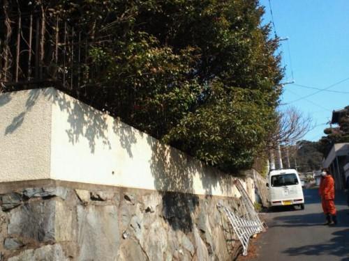 北九州市小倉北区でサザンカの剪定でした。